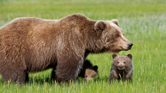 momma-brown-bear-protecting-her-cubs