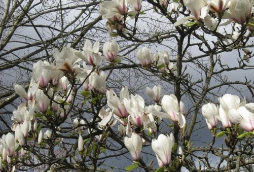magnolias-white